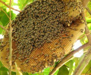 colonia de abelhas