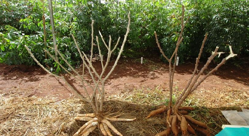 como plantar mandioca